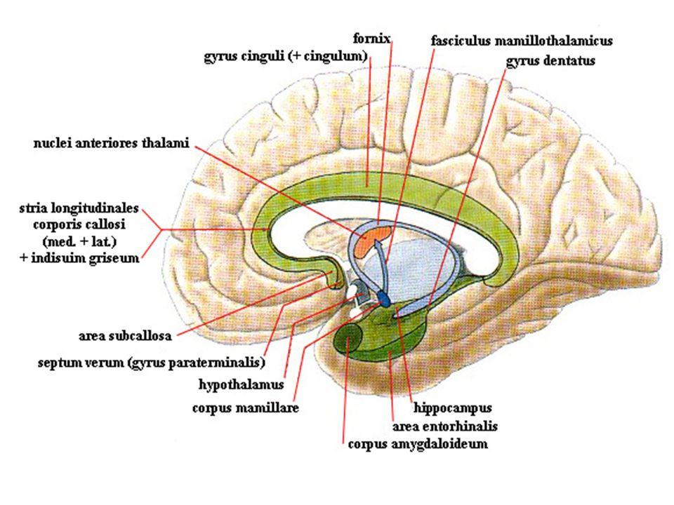 Gyrus cinguli area 23-25,29-31 AF: asociační oblasti temporálního, parietálního a okcipitálního laloku EF: zpětné vazby do kůry a podkoří (striatum, talamus, mozeček) emoční reakce (přední část), verbální paměť a prostorová orientace (zadní část) cingulum – bílá hmota do gyrus parahippocampalis