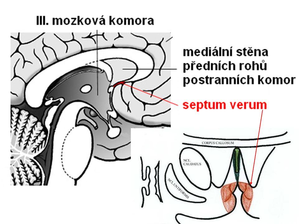 Insula = Lobus insularis area 13-16 (4-6 závitů) viscerosenzitivní (ventrální) část chuť, čich, regulace imunitní odpovědi visceromotorická (prostřední) část –dýchání, trávení, řeč, srdeční činnost vestibulární (dorzální) část –podílí se na vnímaní polohy a pohybů hlavy emoční složka bolesti funkční pohled: –ventrální část: fyziologické změny v průběhu emocí –dorzální část: fyziologický stav těla a jeho vnímání