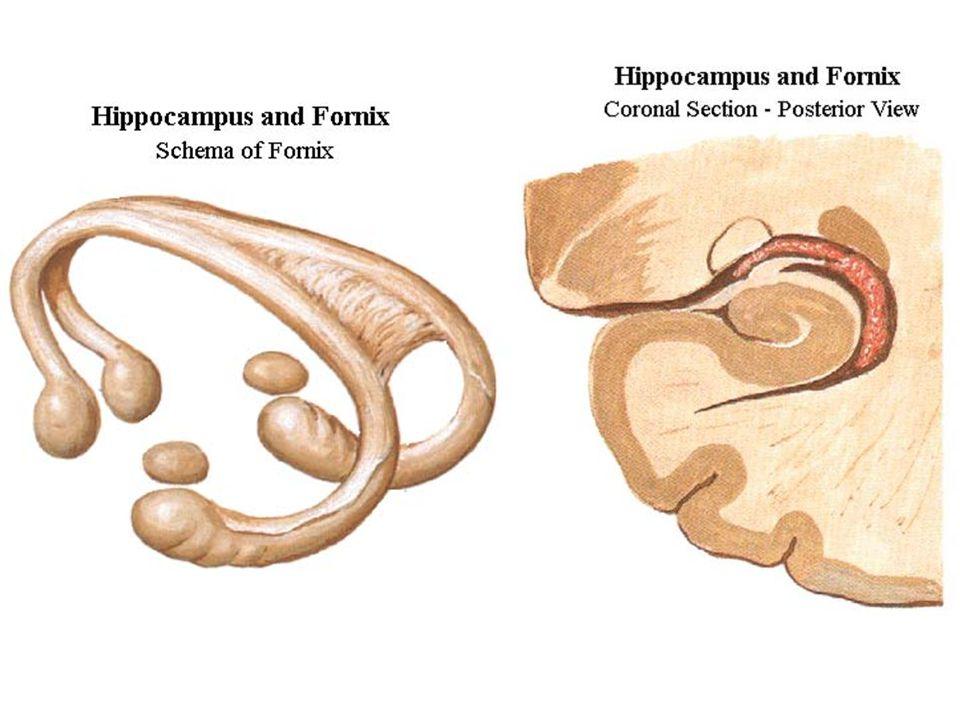 Jádra corpus amygdaloideum septum verum nucleus accumbens ncl.