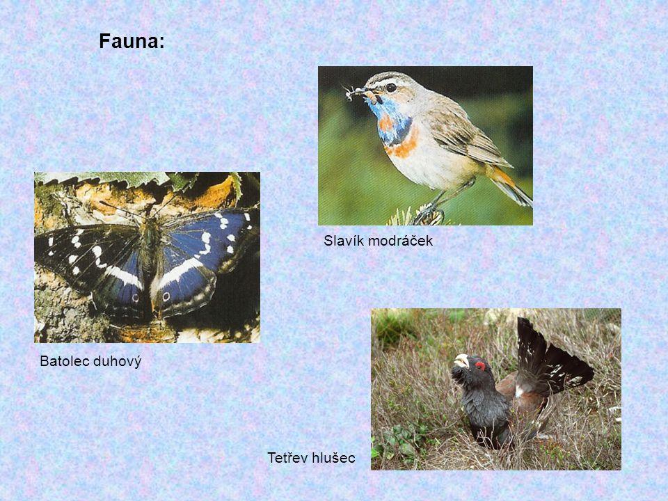 Fauna: Slavík modráček Batolec duhový Tetřev hlušec
