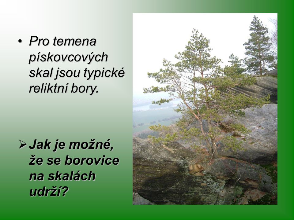 Pro temena pískovcových skal jsou typické reliktní bory.Pro temena pískovcových skal jsou typické reliktní bory.  Jak je možné, že se borovice na ska