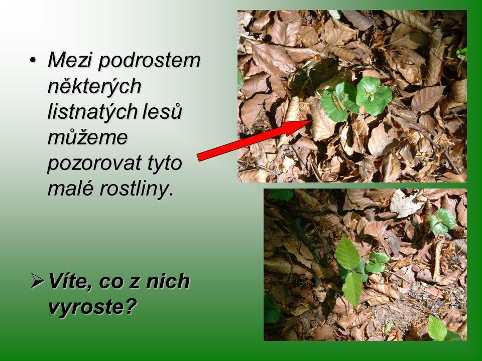 Mezi podrostem některých listnatých lesů můžeme pozorovat tyto malé rostliny.Mezi podrostem některých listnatých lesů můžeme pozorovat tyto malé rostl