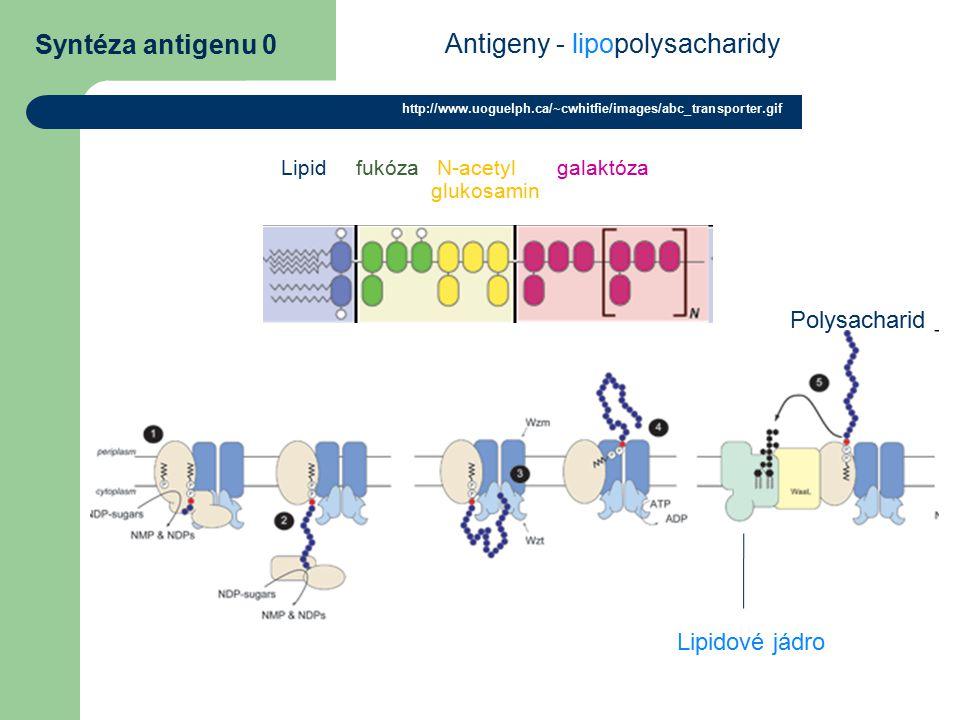 Syntéza antigenu 0 http://www.uoguelph.ca/~cwhitfie/images/abc_transporter.gif Antigeny - lipopolysacharidy Lipidové jádro Polysacharid Lipid fukóza N