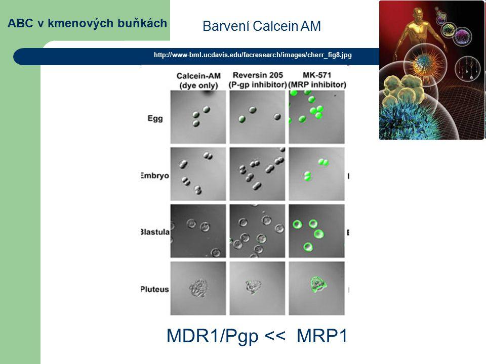 ABC v kmenových buňkách MDR1/Pgp << MRP1 http://www-bml.ucdavis.edu/facresearch/images/cherr_fig8.jpg Barvení Calcein AM