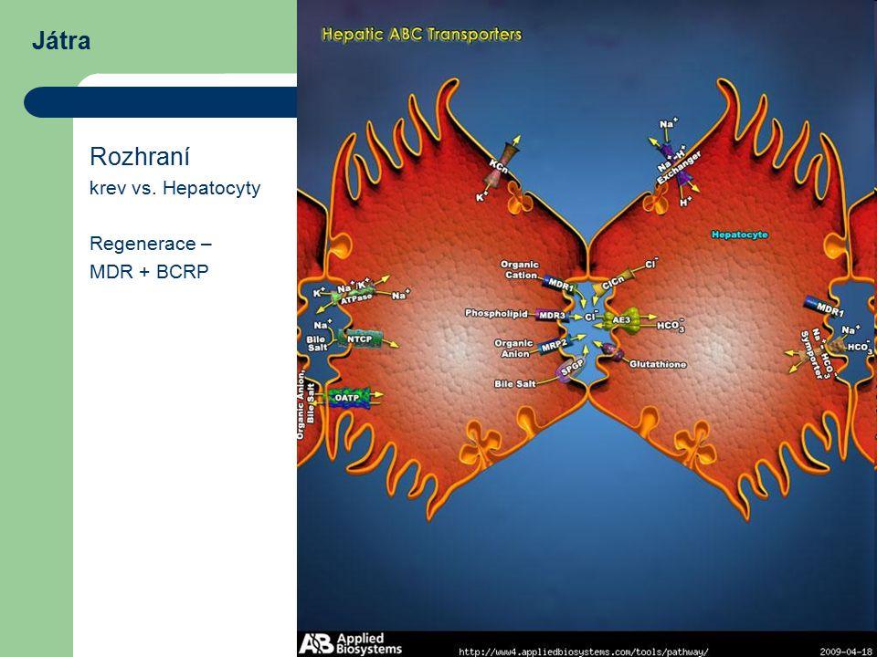Játra Rozhraní krev vs. Hepatocyty Regenerace – MDR + BCRP