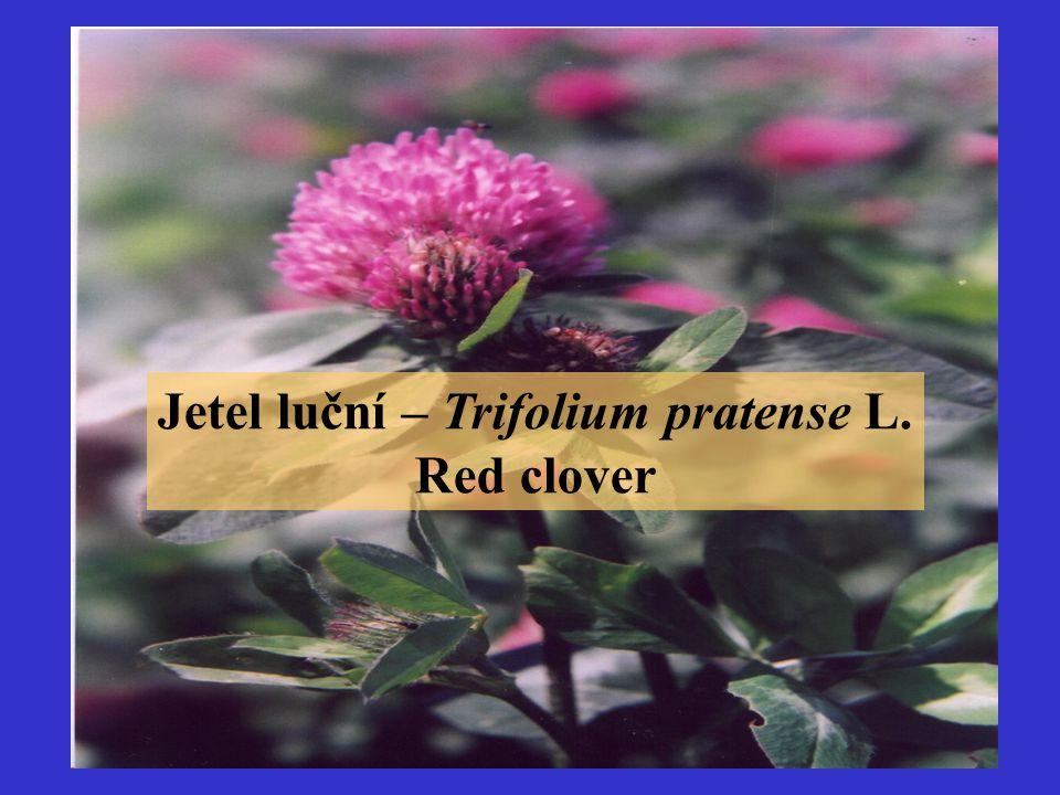 Jetel luční – Trifolium pratense L. Red clover
