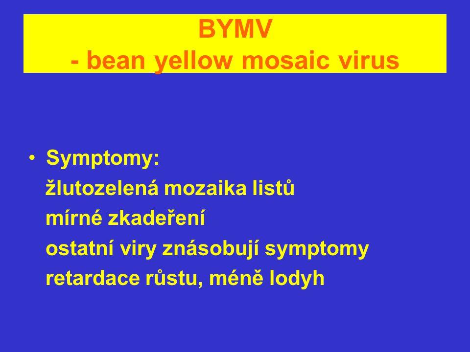 BYMV - bean yellow mosaic virus Symptomy: žlutozelená mozaika listů mírné zkadeření ostatní viry znásobují symptomy retardace růstu, méně lodyh