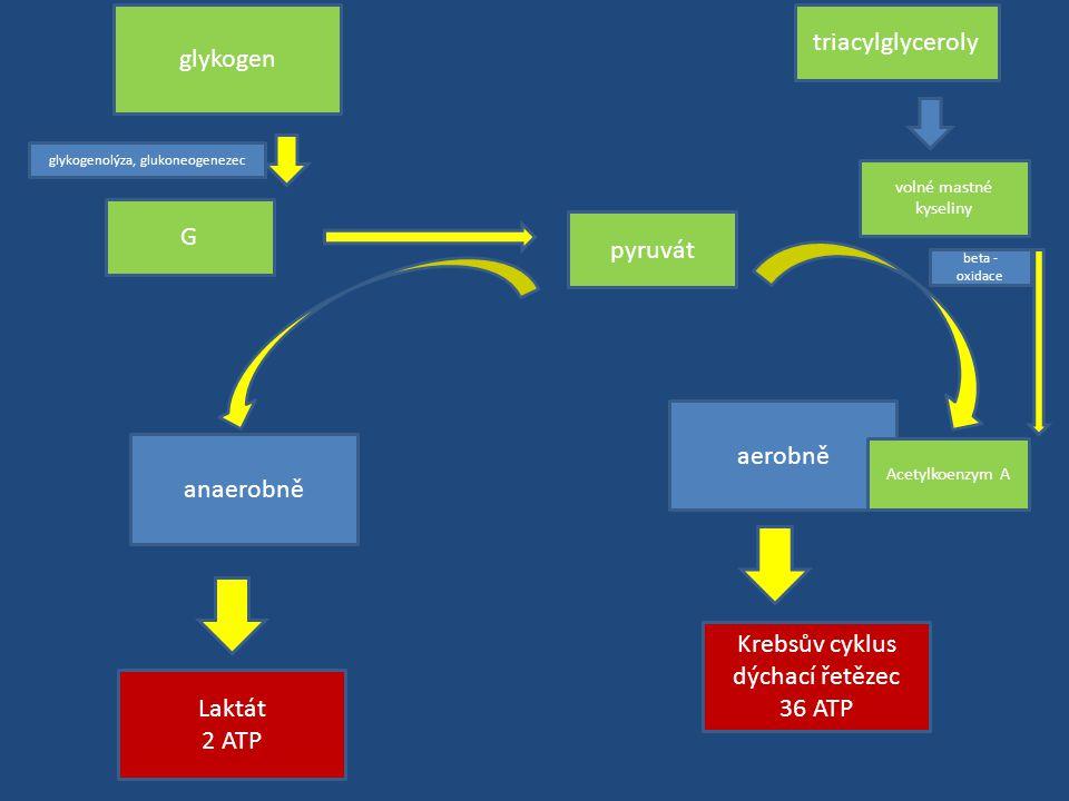 G pyruvát anaerobně aerobně Laktát 2 ATP Krebsův cyklus dýchací řetězec 36 ATP Acetylkoenzym A glykogen glykogenolýza, glukoneogenezec triacylglyceroly volné mastné kyseliny beta - oxidace