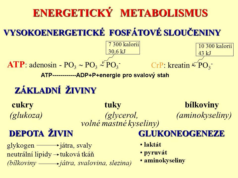 ENERGETICKÝ METABOLISMUS VYSOKOENERGETICKÉ FOSFÁTOVÉ SLOUČENINY ZÁKLADNÍ ŽIVINY DEPOTA ŽIVIN GLUKONEOGENEZE laktát pyruvát aminokyseliny glykogen játr