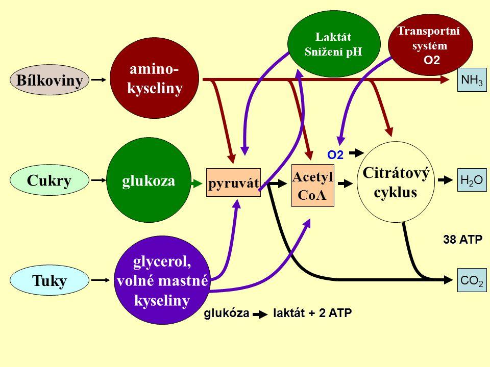 Bílkoviny Cukry Tuky amino- kyseliny glukoza glycerol, volné mastné kyseliny Citrátový cyklus pyruvát Acetyl CoA CO 2 NH 3 H2OH2O glukóza laktát + 2 A