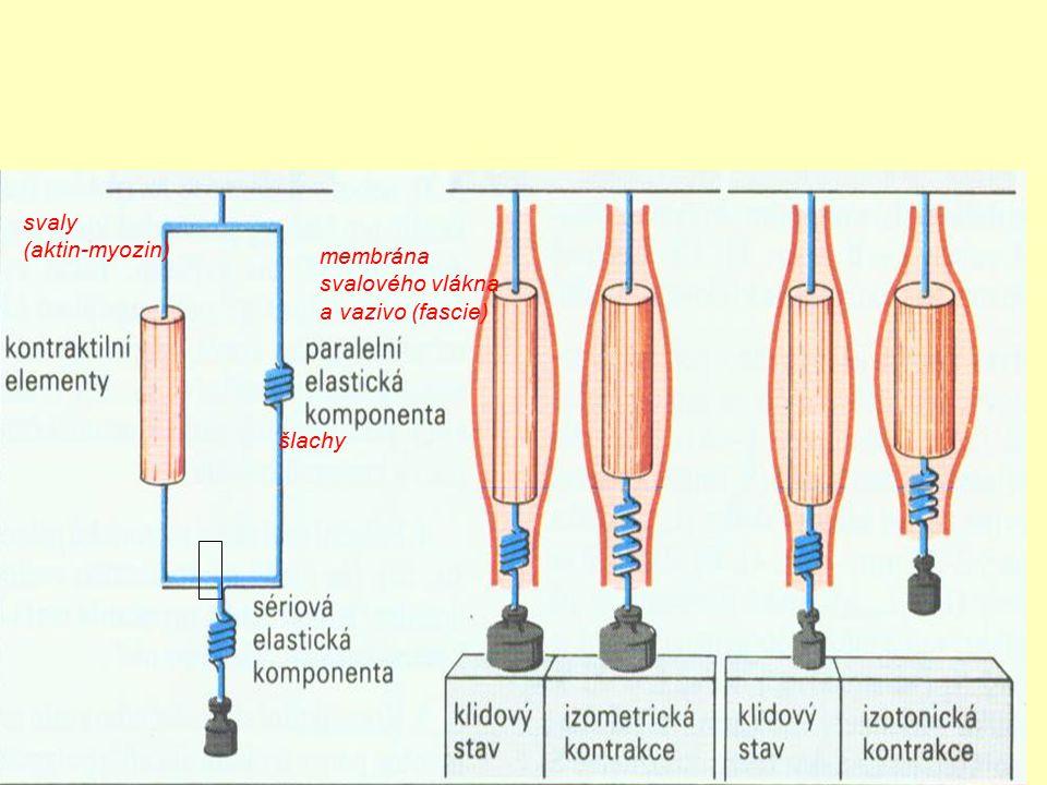 membrána svalového vlákna a vazivo (fascie) šlachy svaly (aktin-myozin)