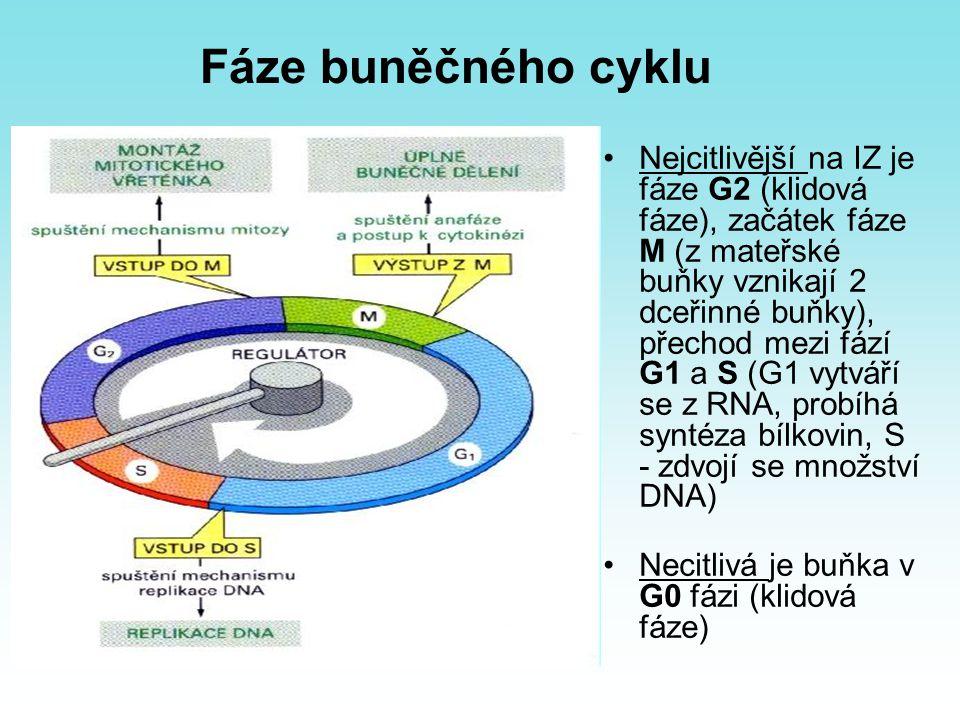 Fáze buněčného cyklu Nejcitlivější na IZ je fáze G2 (klidová fáze), začátek fáze M (z mateřské buňky vznikají 2 dceřinné buňky), přechod mezi fází G1