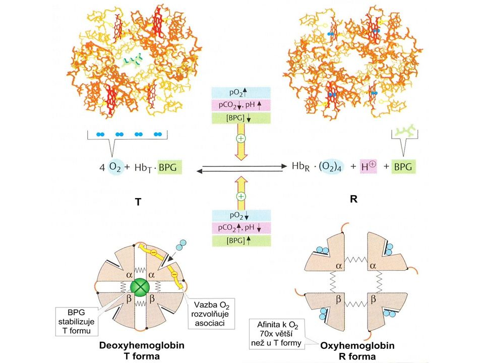 Souhrn:  Specifická struktura a funkce erytrocytů  Specifika metabolismu (glykolýza, PPP)  Ochrana před oxidačním stresem  Hemoglobin, hemoglobinopatie