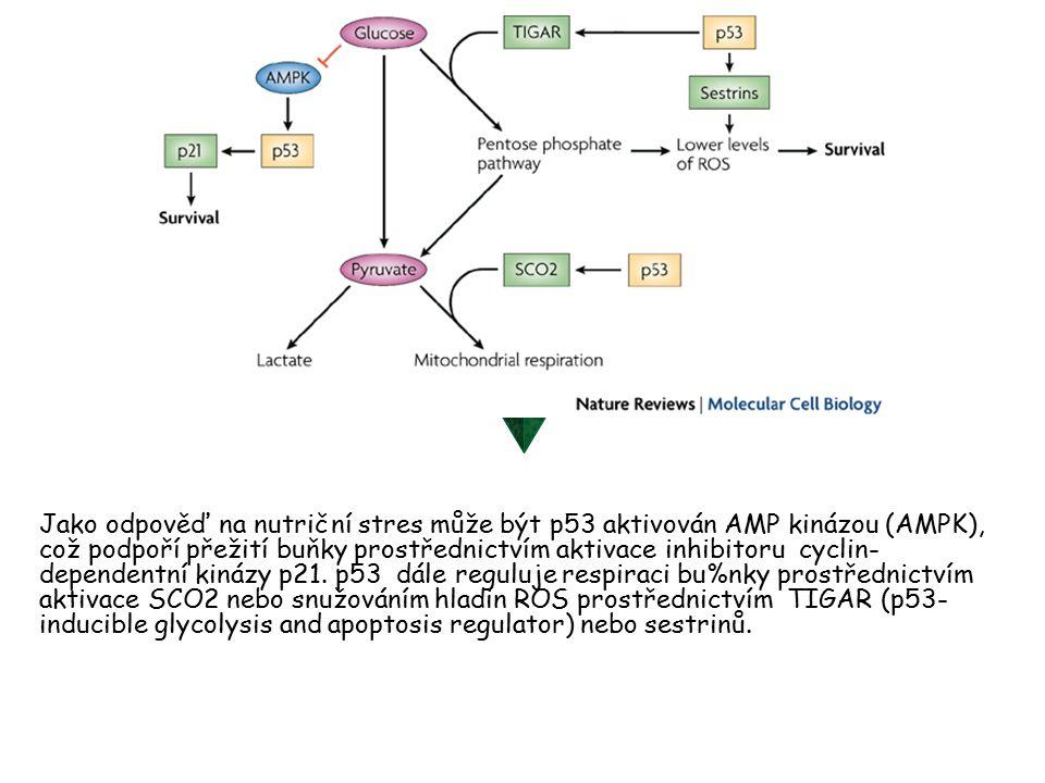 Jako odpověď na nutriční stres může být p53 aktivován AMP kinázou (AMPK), což podpoří přežití buňky prostřednictvím aktivace inhibitoru cyclin- dependentní kinázy p21.