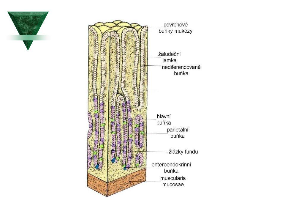 Slizniční bariéra žaludku  Sliznice žaludku, zejména podél velké kurvatury, se skládá do tenkých záhybů.