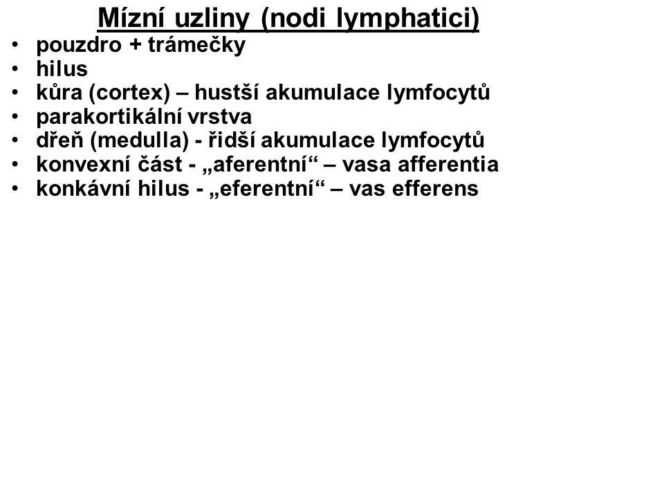 """Mízní uzliny (nodi lymphatici) pouzdro + trámečky hilus kůra (cortex) – hustší akumulace lymfocytů parakortikální vrstva dřeň (medulla) - řidší akumulace lymfocytů konvexní část - """"aferentní – vasa afferentia konkávní hilus - """"eferentní – vas efferens"""
