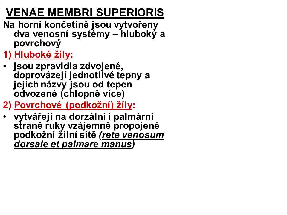VENAE MEMBRI SUPERIORIS Na horní končetině jsou vytvořeny dva venosní systémy – hluboký a povrchový 1) Hluboké žíly: jsou zpravidla zdvojené, doprováz
