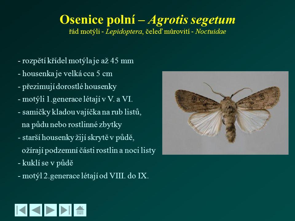 Osenice polní – Agrotis segetum řád motýli - Lepidoptera, čeleď můrovití - Noctuidae - rozpětí křídel motýla je až 45 mm - housenka je velká cca 5 cm