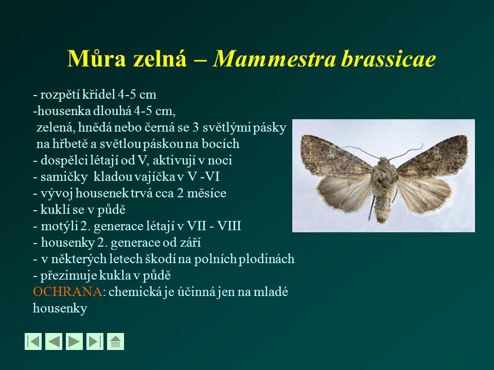 Můra zelná – Mammestra brassicae - rozpětí křídel 4-5 cm -housenka dlouhá 4-5 cm, zelená, hnědá nebo černá se 3 světlými pásky na hřbetě a světlou pás