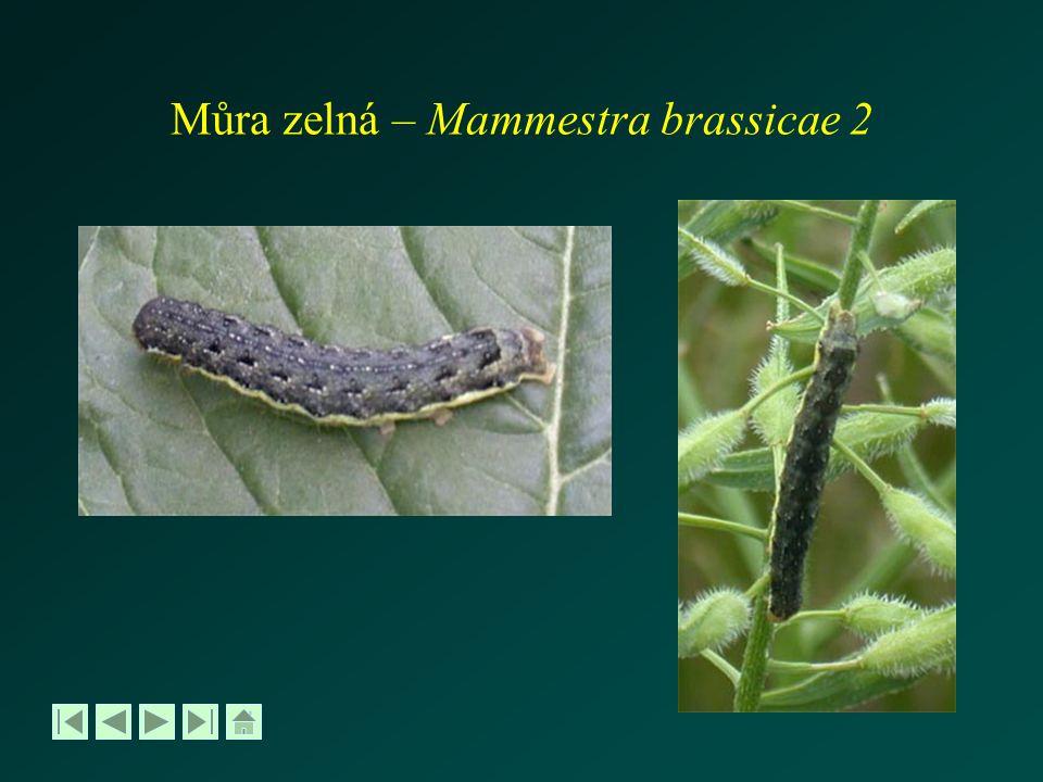 Můra zelná – Mammestra brassicae 2