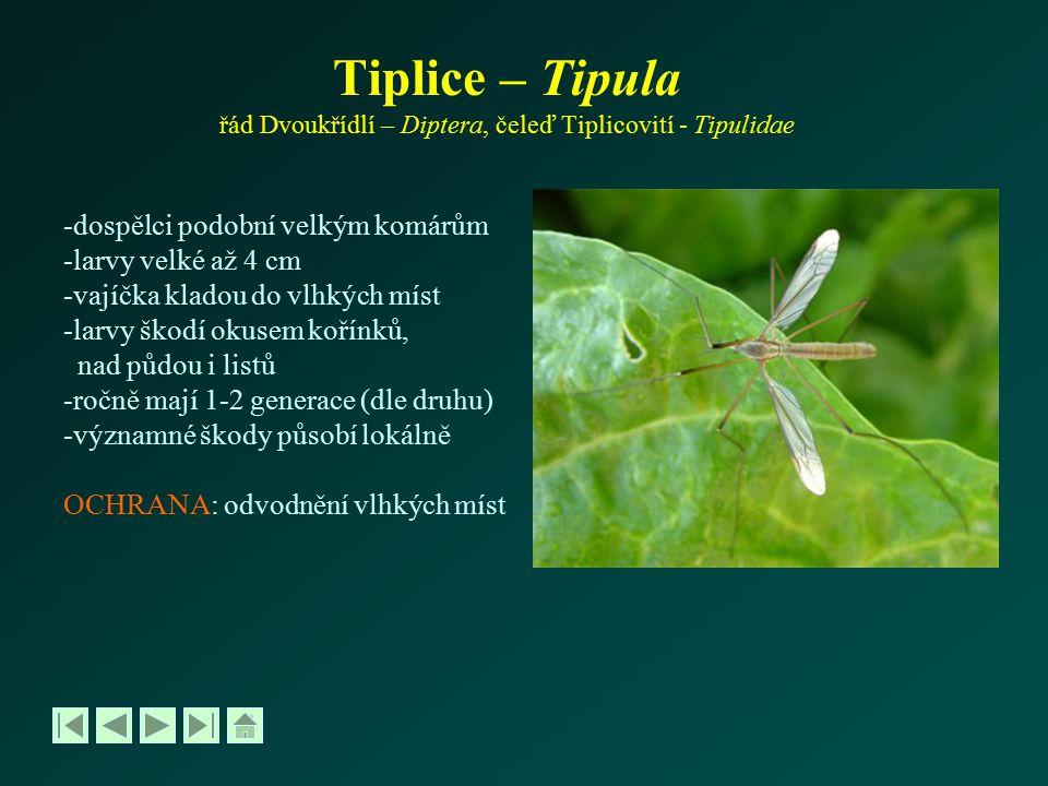 Tiplice – Tipula řád Dvoukřídlí – Diptera, čeleď Tiplicovití - Tipulidae -dospělci podobní velkým komárům -larvy velké až 4 cm -vajíčka kladou do vlhk