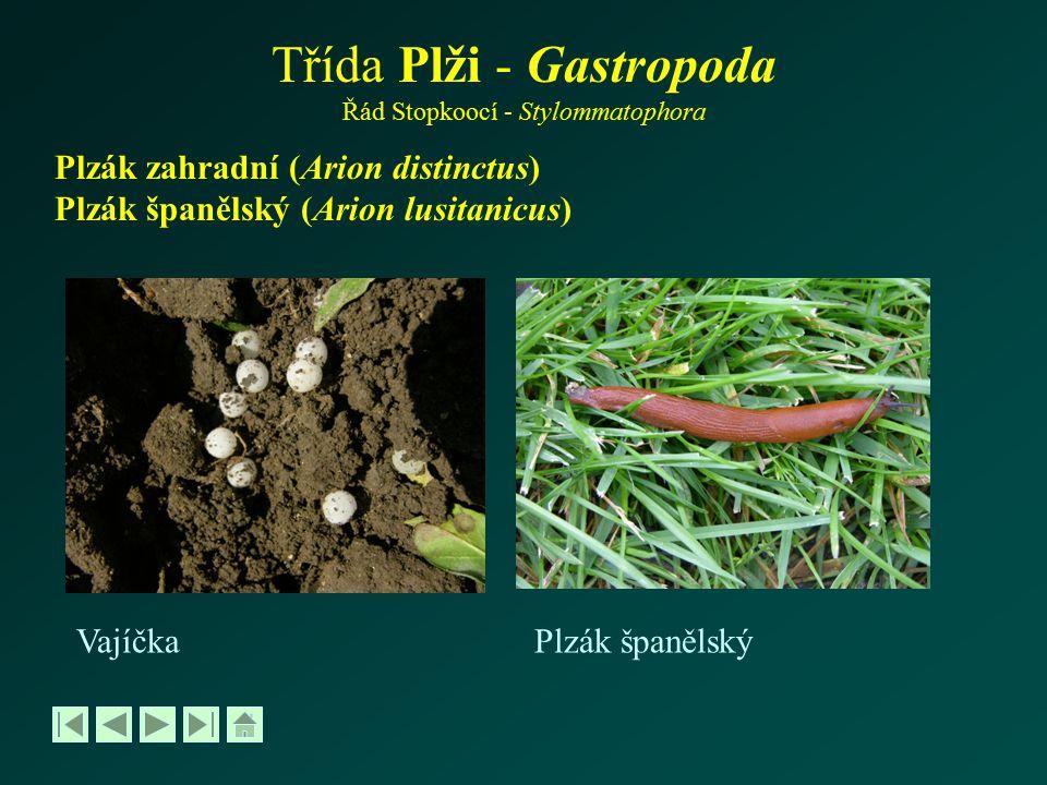 Třída Plži - Gastropoda Řád Stopkoocí - Stylommatophora Plzák zahradní (Arion distinctus) Plzák španělský (Arion lusitanicus) VajíčkaPlzák španělský