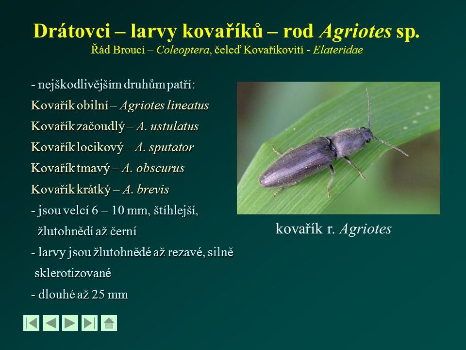 Drátovci – bionomie, škodlivost - samičky kladou vajíčka v V až VII do půdy, přednostně do hustých, vlhčích porostů - larvy se živí humusem a vlasovými kořeny, později všemi podzemními částmi rostlin - celkový vývoj trvá 3 – 5 let - kuklí se v červenci a v srpnu v půdě, brouci se líhnou za 3-4 týdny, přezimují v půdě nebo ve vegetaci na zemi Drátovci škodí ve dvou etapách: 1) při teplotě 10 o C a vyšší půdní vlhkosti se zdržují ve vrchní vrstvě půdy a ožírají semena a klíčící rostliny 2) v období snížení půdní vlhkosti koncem V a začátkem VI, kdy larvy přecházejí na kořeny Napadení bývá ohniskové drátovec