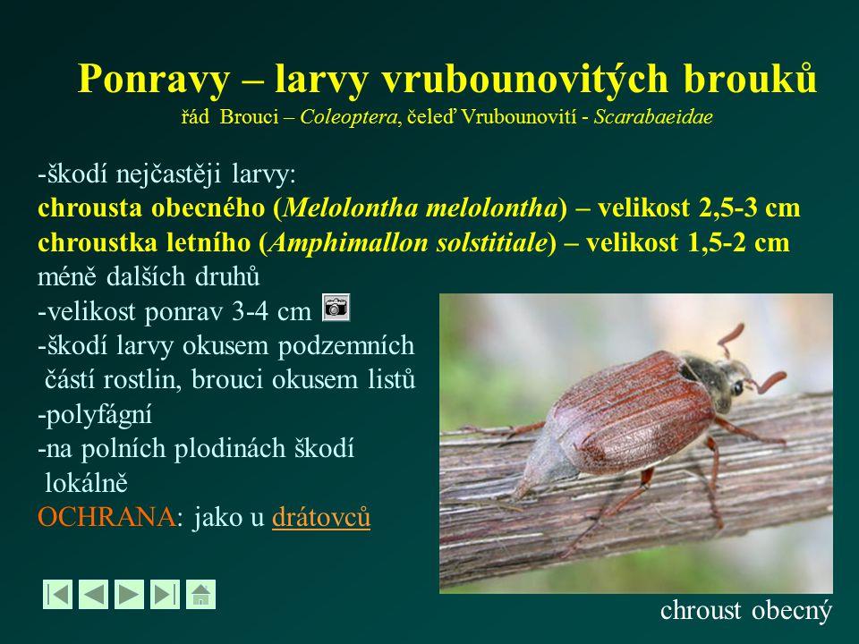 Ponravy – larvy vrubounovitých brouků řád Brouci – Coleoptera, čeleď Vrubounovití - Scarabaeidae -škodí nejčastěji larvy: chrousta obecného (Melolonth
