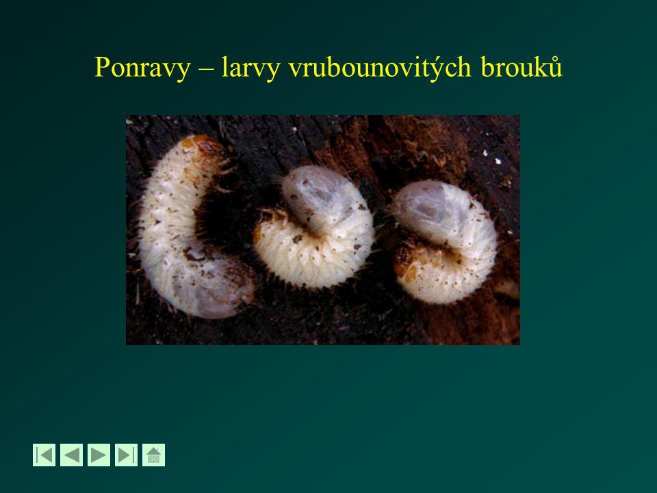 Ponravy – larvy vrubounovitých brouků