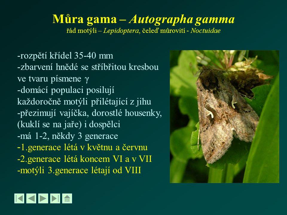 Můra gama – Autographa gamma řád motýli – Lepidoptera, čeleď můrovití - Noctuidae -rozpětí křídel 35-40 mm -zbarvení hnědé se stříbřitou kresbou ve tv