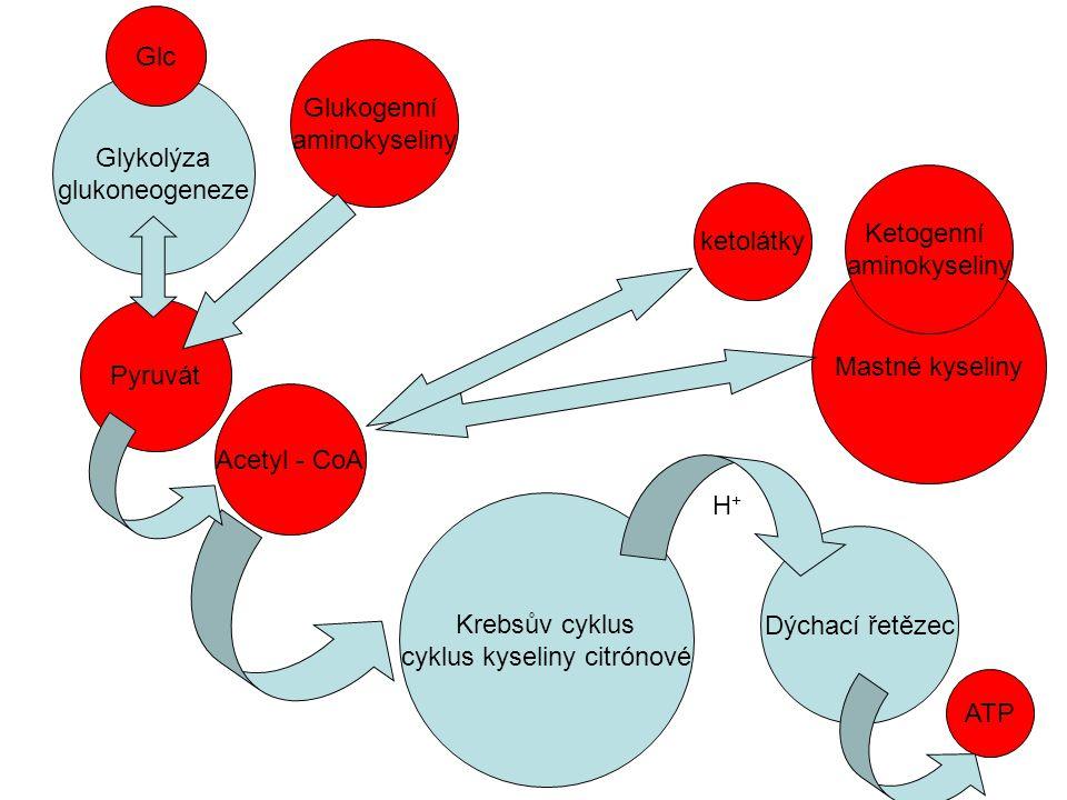 Krebsův cyklus cyklus kyseliny citrónové Dýchací řetězec ATP H+H+ Glykolýza glukoneogeneze Mastné kyseliny ketolátky Glukogenní aminokyseliny Ketogenn