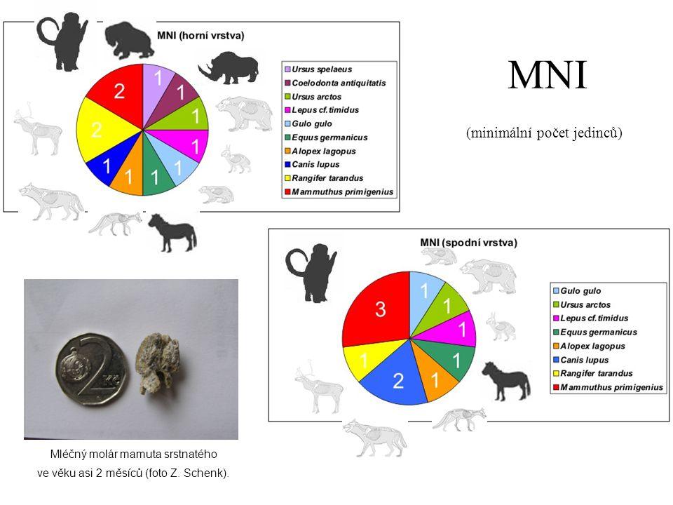 MNI (minimální počet jedinců) Mléčný molár mamuta srstnatého ve věku asi 2 měsíců (foto Z. Schenk).