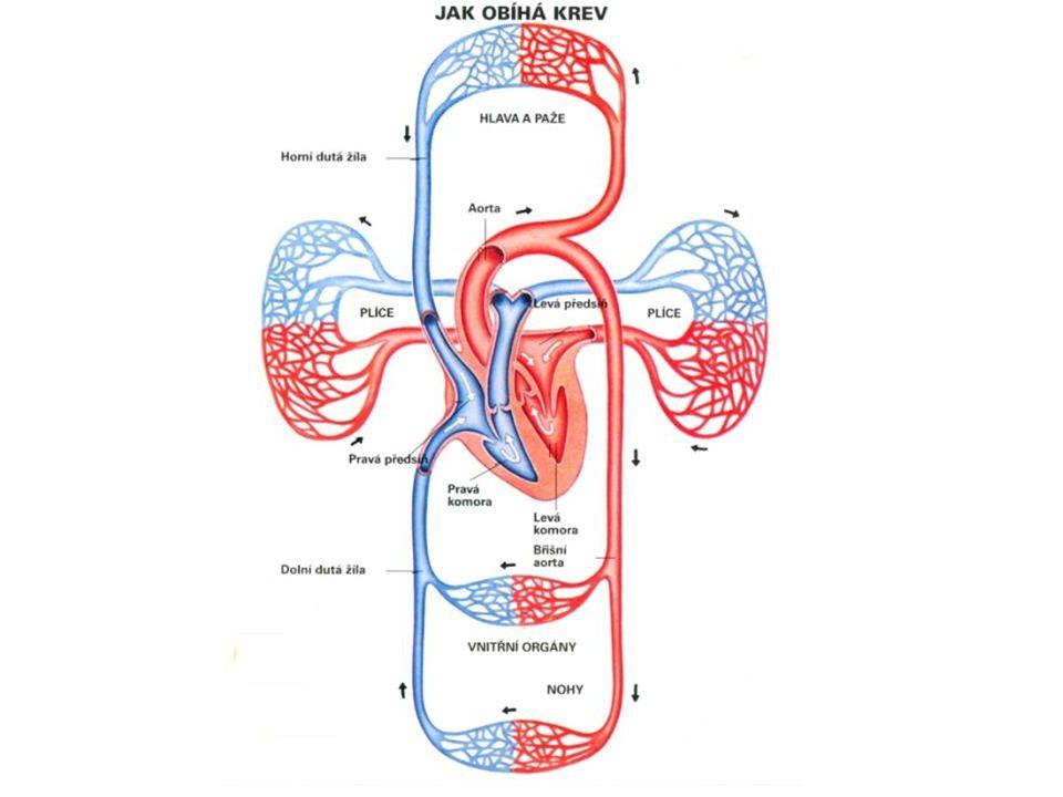 LEVÁPRAVÁ KREV S KYSLÍKEMKREV BEZ KYSLÍKU DO SÍNĚ – 4 PLICNÍ ŽÍLY Z PLIC DO SÍNĚ – HORNÍ A DOLNÍ DUTÁ ŽÍLA Z TĚLA Z KOMORY – TEPNA AORTA (SRDEČNICE) DO TĚLA Z KOMORY – TEPNA PLICNICE DO PLIC