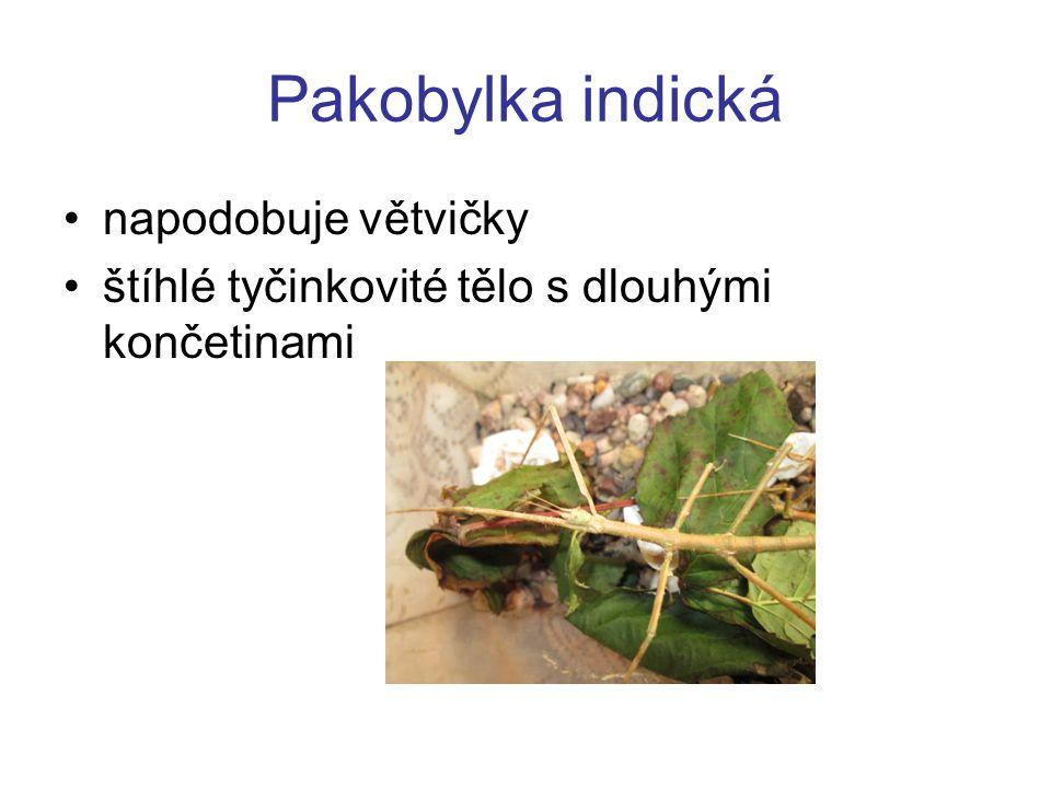 Pakobylka indická napodobuje větvičky štíhlé tyčinkovité tělo s dlouhými končetinami