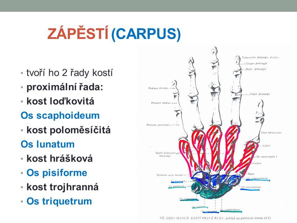 ZÁPĚSTÍ (CARPUS) tvoří ho 2 řady kostí proximální řada: kost loďkovitá Os scaphoideum kost poloměsíčitá Os lunatum kost hrášková Os pisiforme kost tro