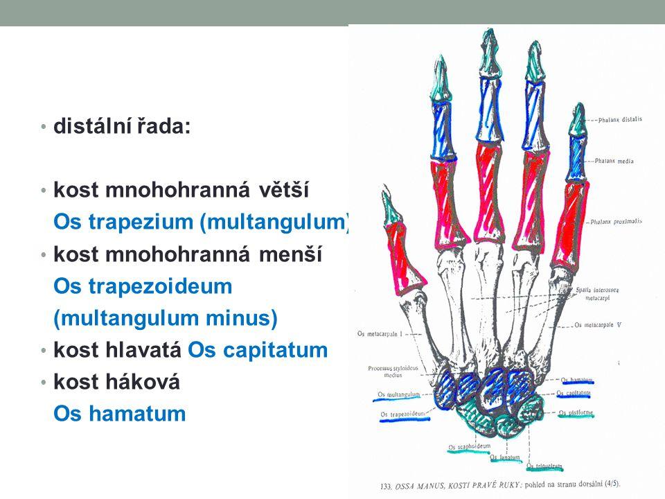 distální řada: kost mnohohranná větší Os trapezium (multangulum) kost mnohohranná menší Os trapezoideum (multangulum minus) kost hlavatá Os capitatum