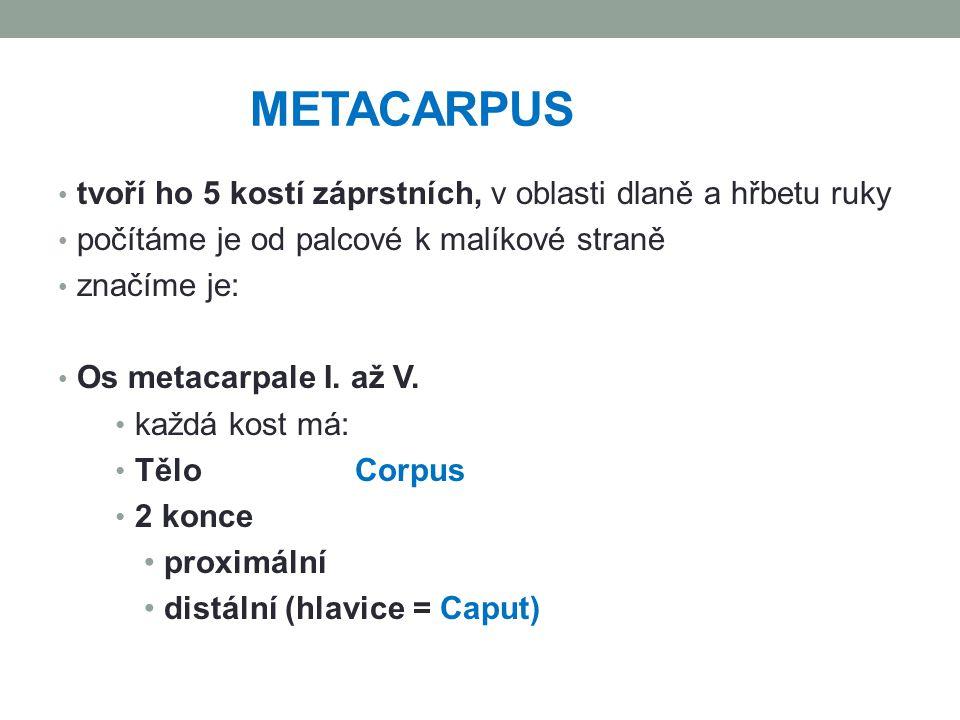 METACARPUS tvoří ho 5 kostí záprstních, v oblasti dlaně a hřbetu ruky počítáme je od palcové k malíkové straně značíme je: Os metacarpale I. až V. kaž