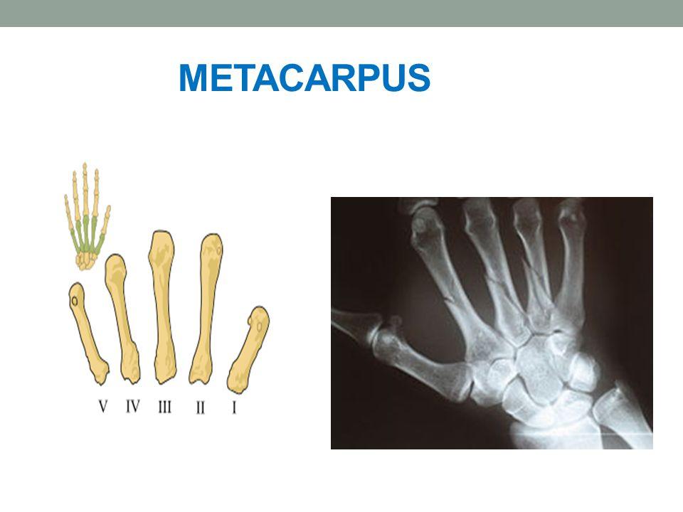 ČLÁNKY PRSTŮ Phalanges drobné rourkovité kůstky, na kterých rozlišujeme: proximální rozšířenou část Basis phalangis střední část Corpus phalangis distální část – hlavice Caput phalangis