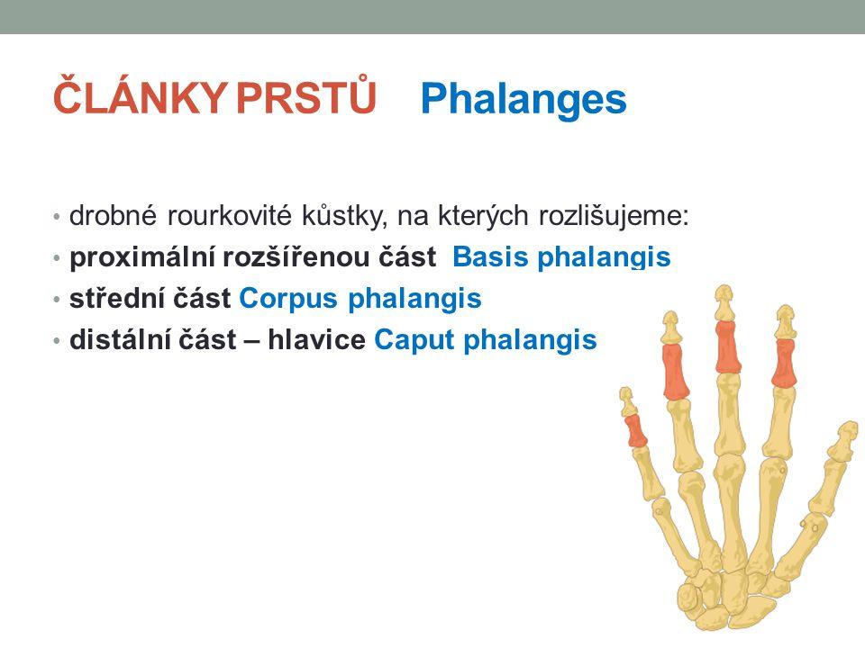 ČLÁNKY PRSTŮ Phalanges drobné rourkovité kůstky, na kterých rozlišujeme: proximální rozšířenou část Basis phalangis střední část Corpus phalangis dist