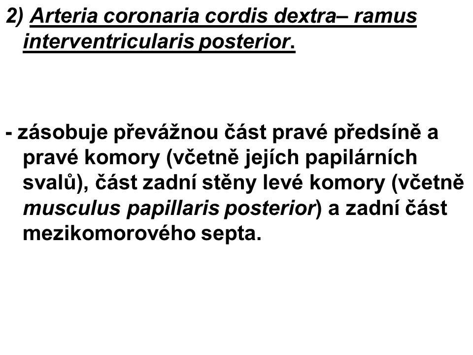 2) Arteria coronaria cordis dextra– ramus interventricularis posterior. - zásobuje převážnou část pravé předsíně a pravé komory (včetně jejích papilár