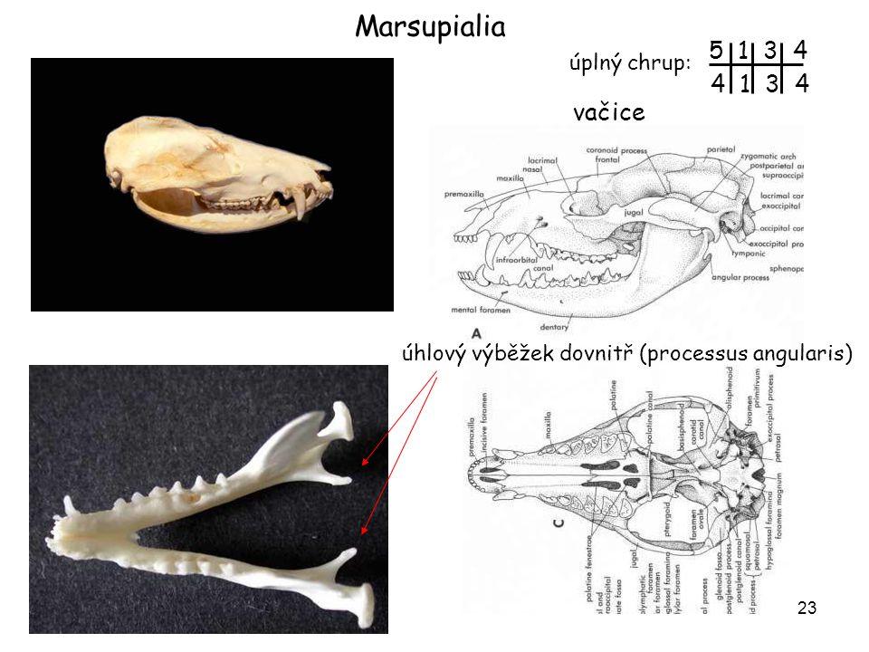 24 vačice epipubes klokan epipubes samce klokana