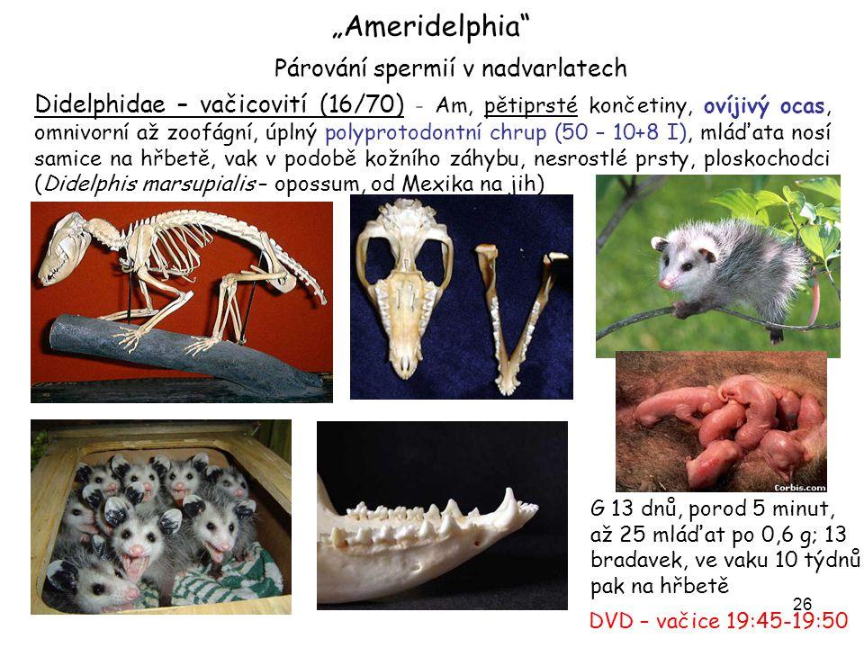 27 Caenolestidae - vačíkovití (3/7) – horské dešťové pralesy JAm, podobní rejskům, vak jen u mláďat!, úplný chrup (46-48), zoofágní, neovíjivý ocas vačík rejsčí – Caenolestes fuliginosus vačík dravý – Caenolestes caniventer I 1 – velký, k lovu