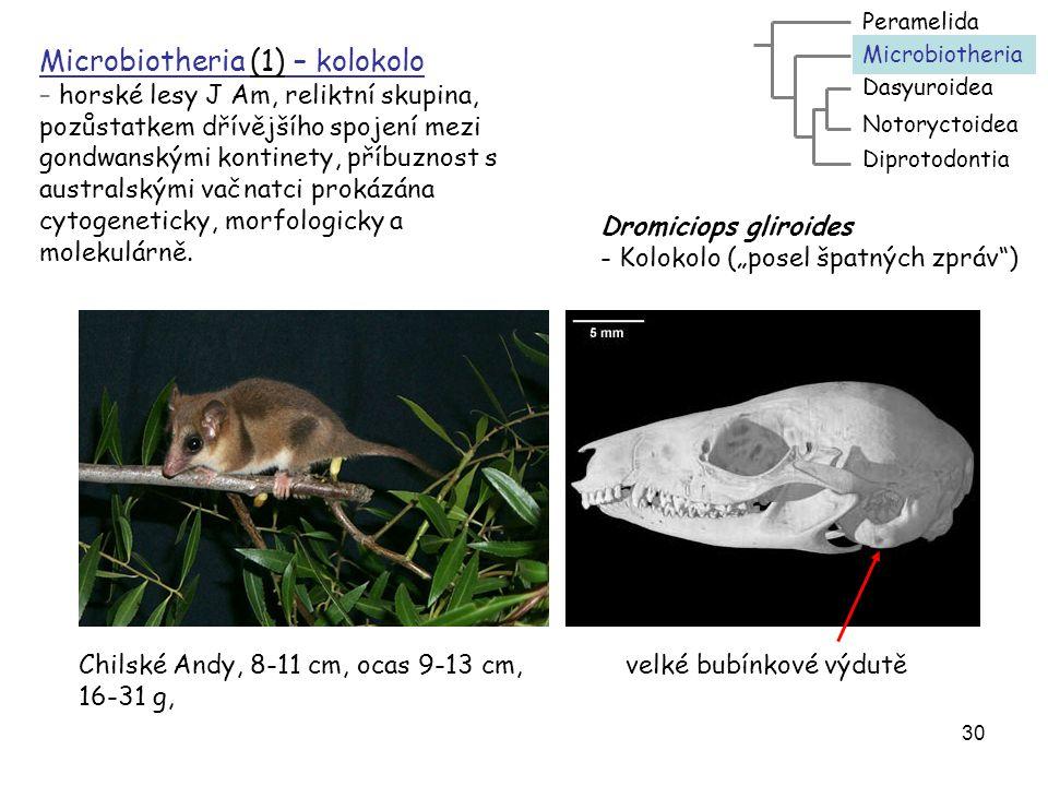 31 Dasyuroidea - kunovci - (26/51) - Aus, zoofágní, myš-pes, úplný chrup, vzadu jen 4 prsty, pozemní – vakovlkovití (1), mravencojedovití (1, numbat), kunovcovití: kunovec (quoll), ďábel, vakorejsek, vakomyš, vakotarbík Dasyuroidea Notoryctoidea Peramelida Diprotodontia Microbiotheria Vakovlk – Thylacinus cynocephalus Vakovlkovití (Thylacinidae) – 1ex Vakovlk tasmánský = vakovlk psohlavý = tasmánský tygr = vlkoun psohlavý = vlkoun zebří, vlkoun vačnatý atd.
