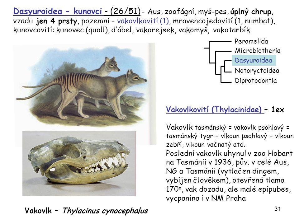 32 Myrmecobius fasciatus – mravencojed žíhaný (numbat) bez vaku, denní aktivita, JZ Aus, dlouhý jazyk DVD - mravencojed Mravencojedovití (Myrmecobiidae) – (1/1)