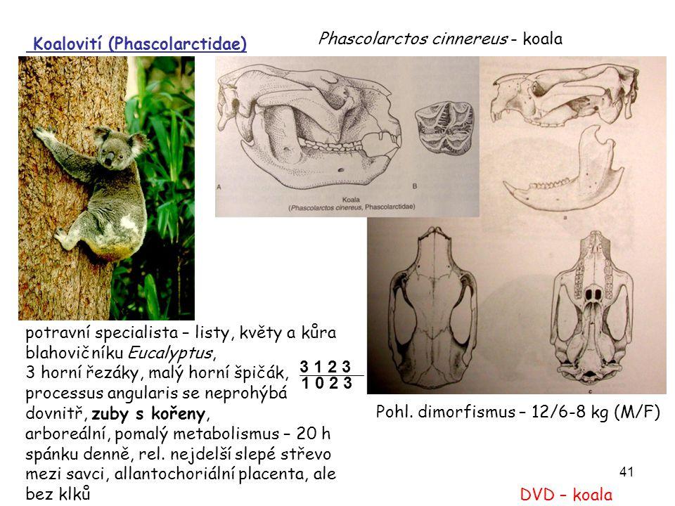 41 potravní specialista – listy, květy a kůra blahovičníku Eucalyptus, 3 horní řezáky, malý horní špičák, processus angularis se neprohýbá dovnitř, zu