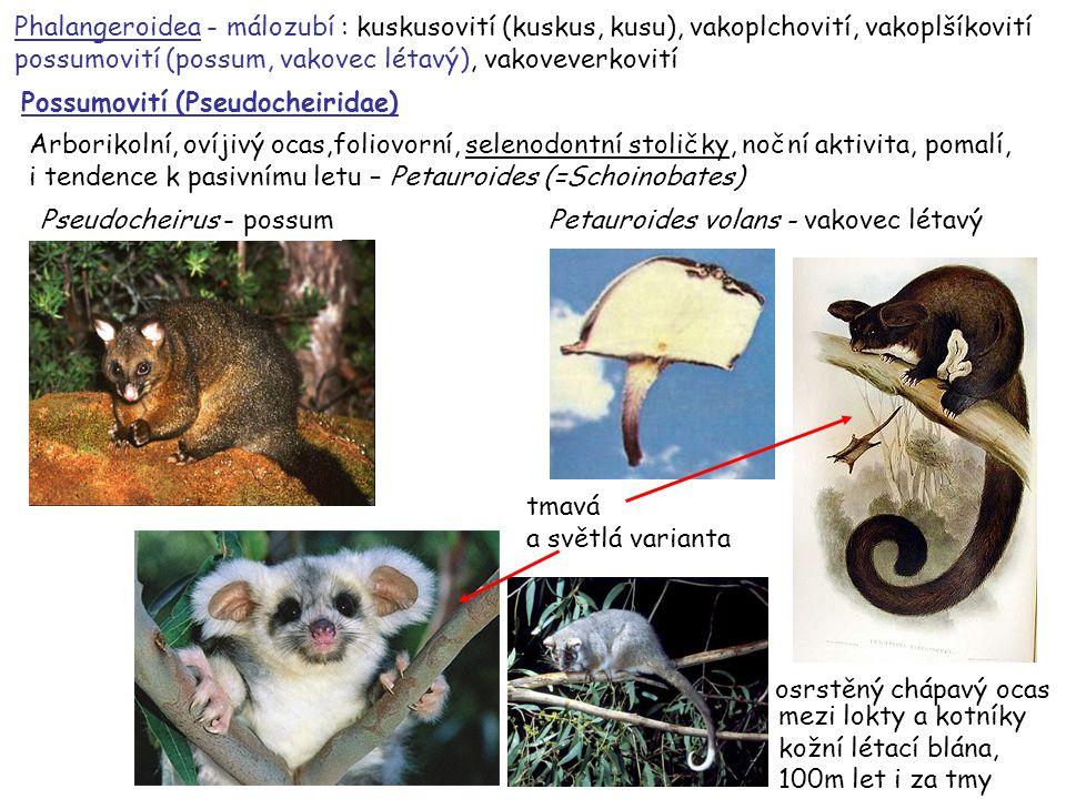 49 vakoveverka létavá – Petaurus breviceps Phalangeroidea - málozubí : kuskusovití (kuskus, kusu), vakoplchovití, vakoplšíkovití possumovití (possum, vakovec létavý), vakoveverkovití Vakoveverkovití (Petauridae) bunodontní stoličky
