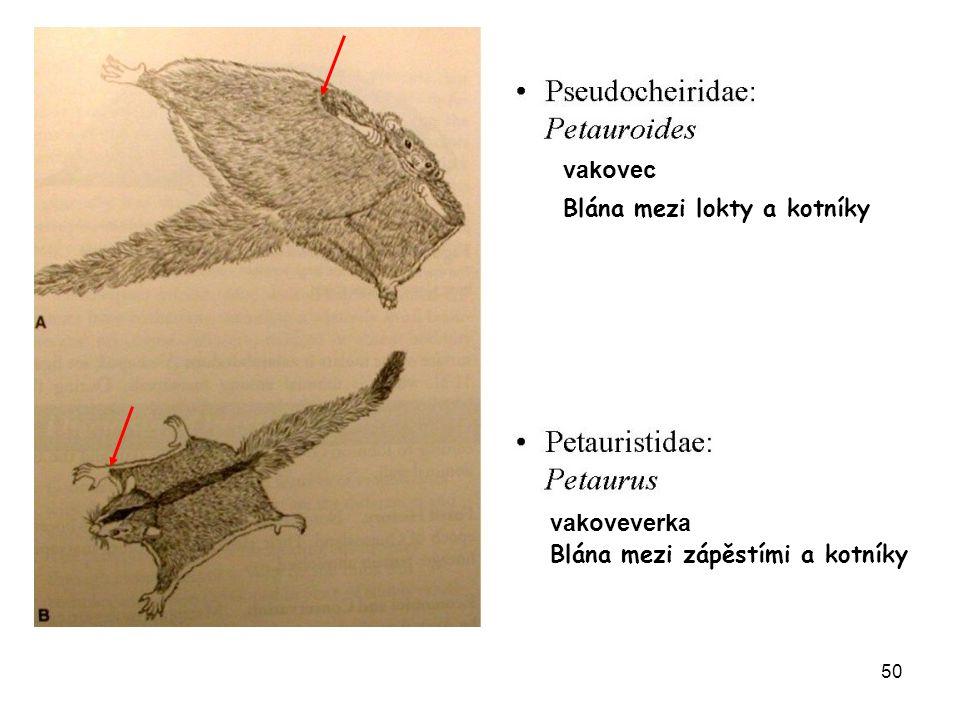 51 Macropodoidea Klokánkovití (Potoroidae) (9) – předci pravých klokanů, běh po čtyřech lysý šupinatý ocas, zachovalý špičák, 34 zuby Dasyuroidea Notoryctoidea Peramelida Diprotodontia Microbiotheria klokánek pižmový Hypsiprimnodon moschatus Potorous tridactylus klokánek krysí noční aktivita
