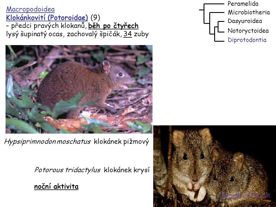 52 Macropodoidea Klokanovití (Macropodidae) (54) – 32zuby 3,0-1, 2,4/1,0,2,4 diastema po chybějícím špičáku, svalnatý ocas, skoky, stromové druhy dobře šplhají; klokan rudý – skoky: d=12,8m, v=3,1m Dasyuroidea Notoryctoidea Peramelida Diprotodontia Microbiotheria klokan rudý – Macropus rufus převážně denní aktivita klokan rudokrký – Wallabia rufogrisea klokan stromový Dendrolagus lumholtzi