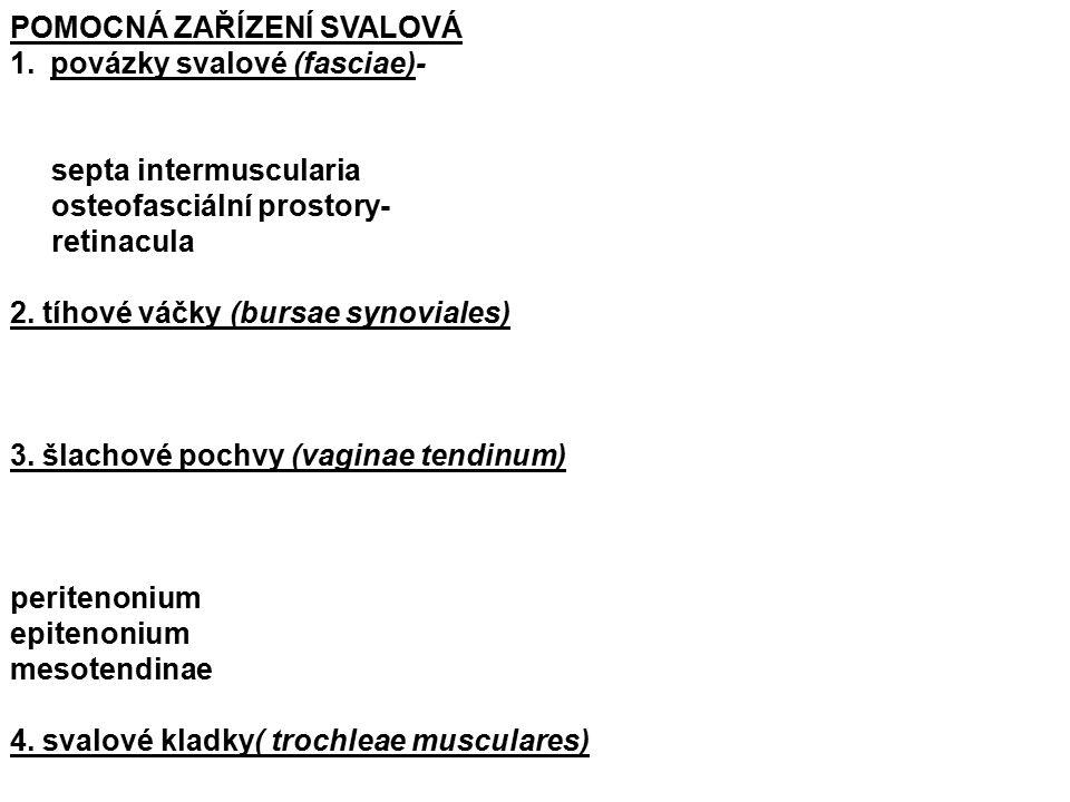 POMOCNÁ ZAŘÍZENÍ SVALOVÁ 1.povázky svalové (fasciae)- septa intermuscularia osteofasciální prostory- retinacula 2.