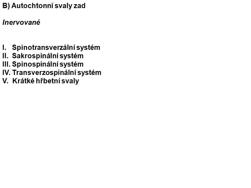 B) Autochtonní svaly zad Inervované I. Spinotransverzální systém II.